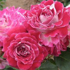 Роза Les Yvelines