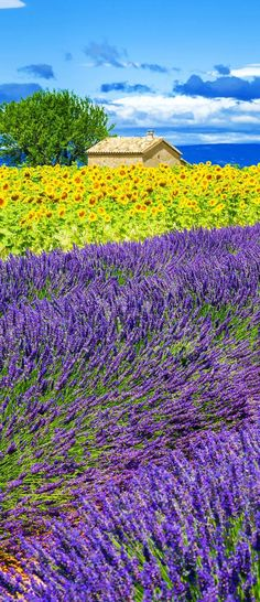 Scenic Lavender and Sunflower Field with Tree in Provence, France   |   13 Amazing Photos of Lavender Fields that will Rock your World #LavenderFields