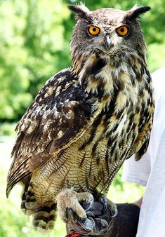 """Eurasian Eagle Owl. This is the coolets owl I think. It is one of the largest of owls, and I love the way it looks vicious with its red or yellow eyes. Also I think the """"ears"""" makes it look kinda powerful."""