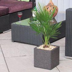 Palm Tree Chamaerops Humilis Inc Decorative Planter  #trees #olivetrees #indoorplants #gardendesign #palmtrees #wetmyplants #baytree #houseplants #baytreewedding