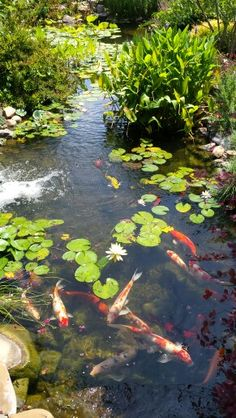 Koi Fish Pond, Fish Ponds, San Gabriel, Pond Painting, Carpe Koi, Pond Life, Pond Design, Lily Pond, Water Flowers