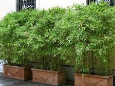 Bambus im Kübel kann eine Terrasse im Garten oder einen Balkon mit einem lebendigen Sichtschutz sehr gut vor neugierigen Blicken schützten. #GardenDesign