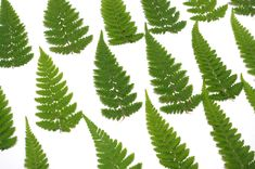 pressed fern leaves 20 pcs 13-15 cm, medium dried fern leaves, natural leaves, fall decor, craft leaves, preserved fern leaves 40 Ferns, Cactus Plants, Dried Flowers, Fall Decor, Plant Leaves, Scrapbooking, Medium, Natural, Crafts