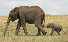We hope this #CubFriday puts a smile on your face. Photo: Ozkan Ozmen (Kusadasi, Turkey); Masai Mara National Reserve, Kenya