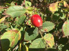 pesleří...: DV… šípkovaná Fruit