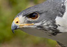 Extreme close-up of a jackal buzzard. These amazing raptors prefer mountainous country with associated savanna and grasslands. They are often seen on perched in open fields at higher altitudes. All Birds, Birds Of Prey, Angry Birds, Steller's Sea Eagle, Vida Animal, Tree Swallow, Extreme Close Up, Buzzard, Raptors