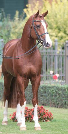 Peking - Warmblood stallion