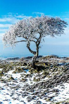 A frozen tree in Peak District, England