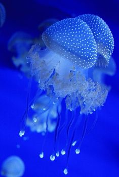 Blue Jellyfish  | under the sea |   | oceanlife | | amazing nature |  #oceanlife #amazingnature  https://biopop.com/