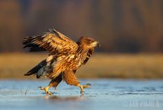 ICE RUNNER - A White tailed eagle runs across the ice during the incredible sunrise light. Shot taken in Poland. Thanks for looking, Lee