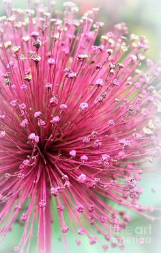 Stunning Pink Flower, probably a Mimosa blossom.  Fantastic fragrance.