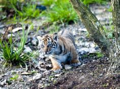 The Sumatran cubs still haven't been named and their sex remains unknown.   Rare Tiger Cubs Make Public Debut At London Zoo
