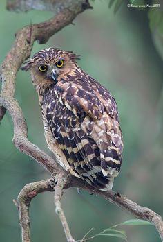 Buffy Fish-owl (Ketupa ketupu) by LawrenceNeo