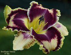 Hemerocallis 'Southern Dazzle'