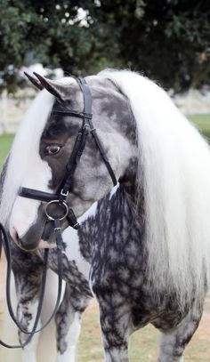 The Chocolate Silver Dapple Pinto With the lush locks and extraordinary coat, this horse is a true show-stopper. The most unique feature probably is the star-shaped dapple on his front end.