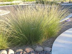 Deer GrassOne of my other favorite grasses is Deer Grass, or Muhlenbergia rigens. Its six foot tall spikes are dramatic and beautiful, especially when backlit by the sun or waving in a breeze. This is one of the most important basketry plants to California Indians.