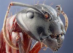 A large ant (Camponotus herculaneus), by photographer John Hallmén