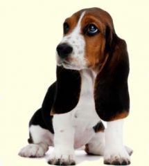 Basset Hound puppies for sale from top breeders. Check out how cute these little pups are!