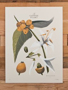 A lovely botanically correct drawing of Arabica Coffee.