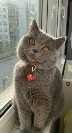 British shorthair cat, her name is Venus British Shorthair Breeders, British Shorthair Kittens, Cute Baby Cats, Kittens Cutest, Cats And Kittens, Grey Cats, Blue Cats, British Blue Cat, Cat Expressions