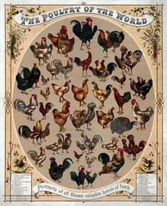 vintage poultry chart