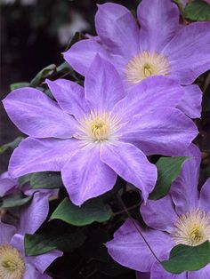 Lavender-blue flowers bloom June through early September. 5 6f vine. 6 7i bloom
