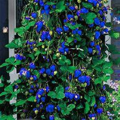 500Pcs Blue Strawberry Rare Fruit Vegetable Seeds Bonsai Edible Garden Climbing Plant