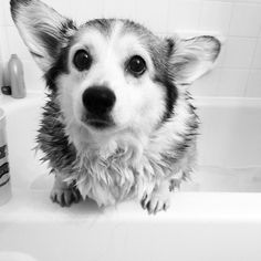Acquire fantastic suggestions on corgi. They are readily available for you on our web site. Corgi Funny, Cute Corgi, Corgi Dog, Cute Puppies, Dogs And Puppies, Baby Animals, Cute Animals, Puppy Grooming, Cute Creatures