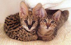 """Se você não tem um gato e um """"vira-latas"""" entra em sua casa, adotando-a como lar, é porque você precisa de um gato em casa nessa época, em particular.  O gato """"vira-latas"""" voluntariou-se para ajudar, lhe escolheu. Agradeça ao gato por ele escolher a sua casa para este trabalho."""