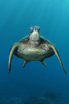 ~~Downstroke ~ Green Sea Turtle, Hawaii by BarryFackler~~ I miss these lil buggers!