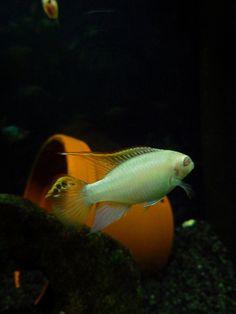 Albino Kribensis Cichlid (Pelvicachromis pulcher) male