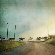 It's Five O'Clock Somewhere by Jamie Helden  … and the cows all seem to know what that means. (a.k.a. Wisconsin roadblock)  | Flickr - Photo Sharing!