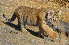 On the move. Tiger Tails, Epic Pictures, Tiger Tiger, Films, Movies, Tigers, Cubs, Children, Young Children
