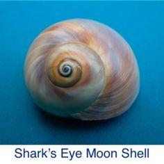 Sharks Eye Moon Shell ID