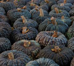 Fall Pumpkins, Halloween Pumpkins, Fall Halloween, Harvest Time, Fall Harvest, Pumpkin Varieties, Pumkin Decoration, Gothic Garden, Thanksgiving