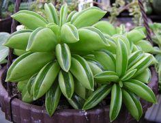 Succulent: Praying Pepper plant (Peperomia Dolabriformis Ecuador).