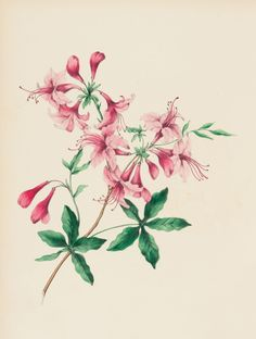 Illustration of Wild Honeysuckle from 'Wild Flowers Drawn and Colored from Nature', New York: Charles Scibner, by Mrs. This is the personal copy of Emily Dickinson as given to her by her father Edward Dickinson in Honeysuckle Tattoo, Wild Honeysuckle, Honeysuckle Flower, Vine Tattoos, Body Art Tattoos, Small Tattoos, Sleeve Tattoos, Tatoos, June Birth Flower