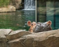 #FionaFix Hippopotamus, Cincinnati, Cute, Animals, Animales, Animaux, Kawaii, Animal, Animais