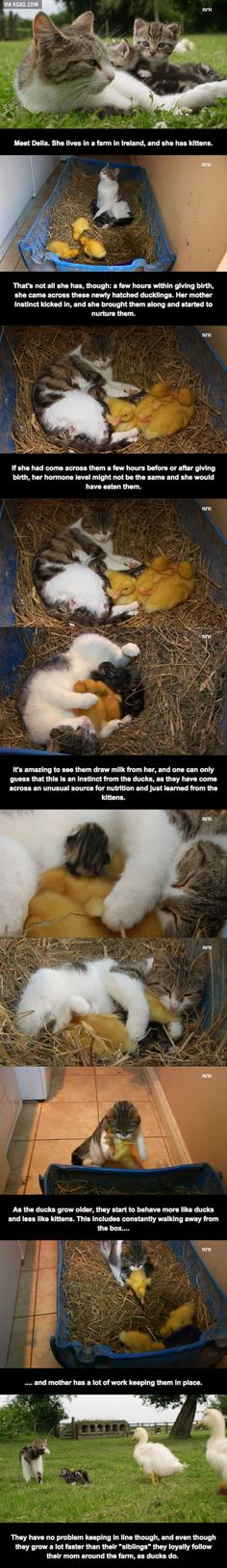 Della, the cat who adopted ducks