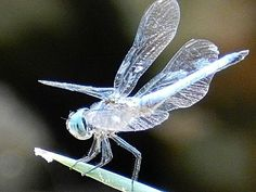 "Silver dragonfly ~ Miks' Pics ""Arachnids and Insects l"" board @ http://www.pinterest.com/msmgish/arachnids-and-insects-l/"