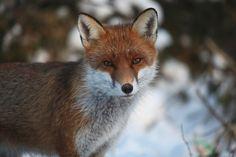 Fox sitting in snow 8 by Secret World Wildlife Rescue, via Flickr