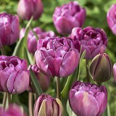 Double Late Tulip Bulbs Blue Diamond – Tulip Bulbs from American Meadows