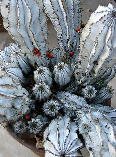 Euphorbia perhaps? Great colouration. Huntington Gardens Cactus