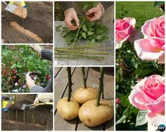 Regrow Rose on Potato from Cutting-Garden Tips to Regrow Flowers From Cut Stems