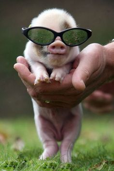 These TINY pigs are too cute! Did some googling and found out that ALL tiny pigs grow up to be really BIG & FAT! That's too bad 'cos they are just too adorable for words! Cute Little Animals, Little Pigs, Cute Funny Animals, Funny Cute, This Little Piggy, Cute Baby Pigs, Cute Piggies, Baby Piglets, Mini Piglets