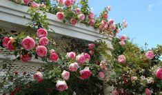 1-Cl-Eden-Climbing-Rose-Bush-Bare-Root-Plant