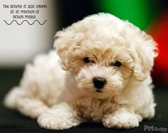 The bichpoo has a small but sturdy stature, is highly intelligent and eager to please which makes him easy to train.
