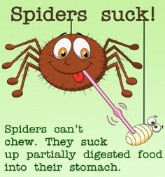 Fact about how spiders eat