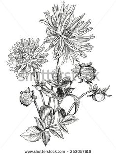 Aster Flower Vektory a vektorové kliparty | Shutterstock