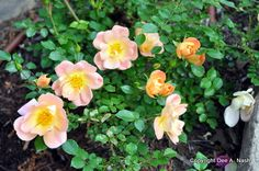 Not all roses are good, garden playmates, but OSO Easy Peach Cream is.